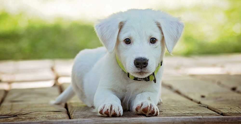 10 Best Large Breed Puppy Foods in 2019 - Pets Ami